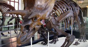 Michael Gray from Wantagh NY, USA — Triceratops at Museum of Natural History CC BY-SA 2.0