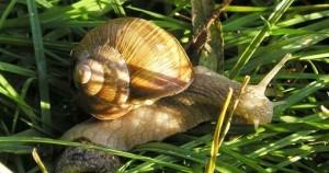 Des escargots au menu des Européens il y a 30000 ans
